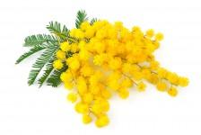 coltivare-mimosa